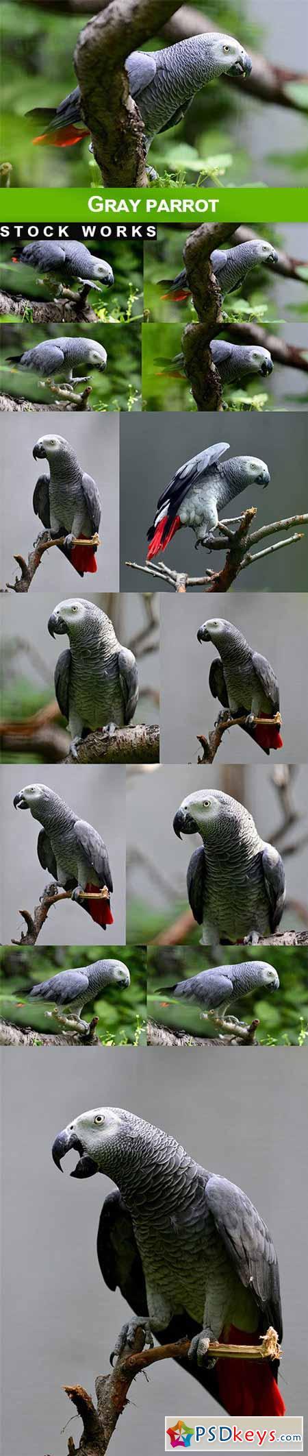 Gray Parrot - 13 UHQ JPEG
