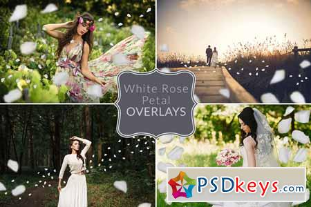 White Rose Petal Overlays 477575