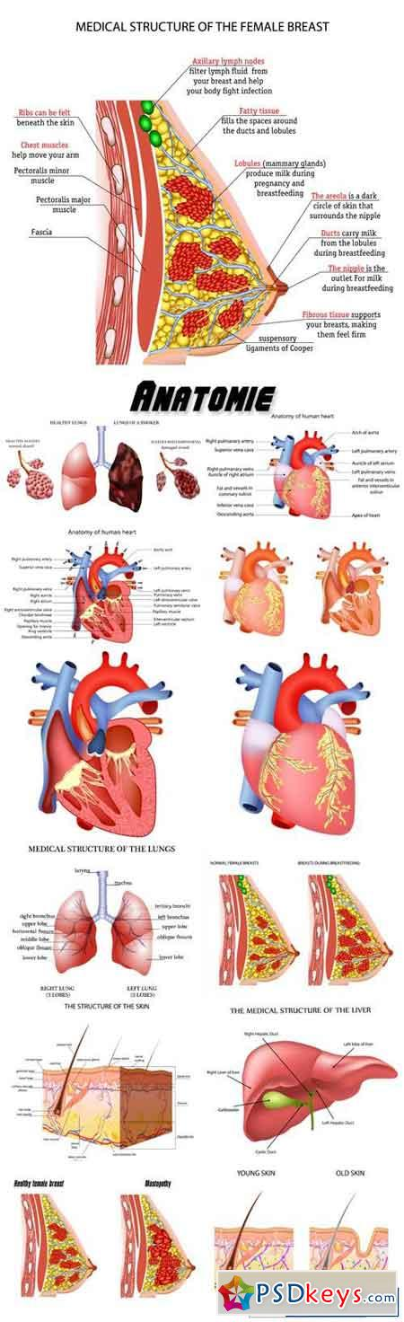 Anatomie der menschlichen inneren organe » Free Download Photoshop ...