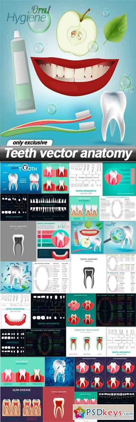 Teeth vector anatomy - 34 EPS