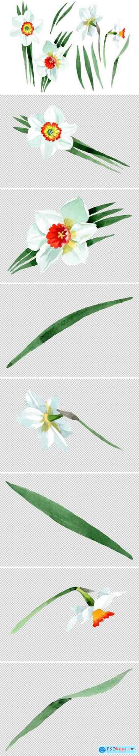 Creativemarket White narcissus Watercolor png