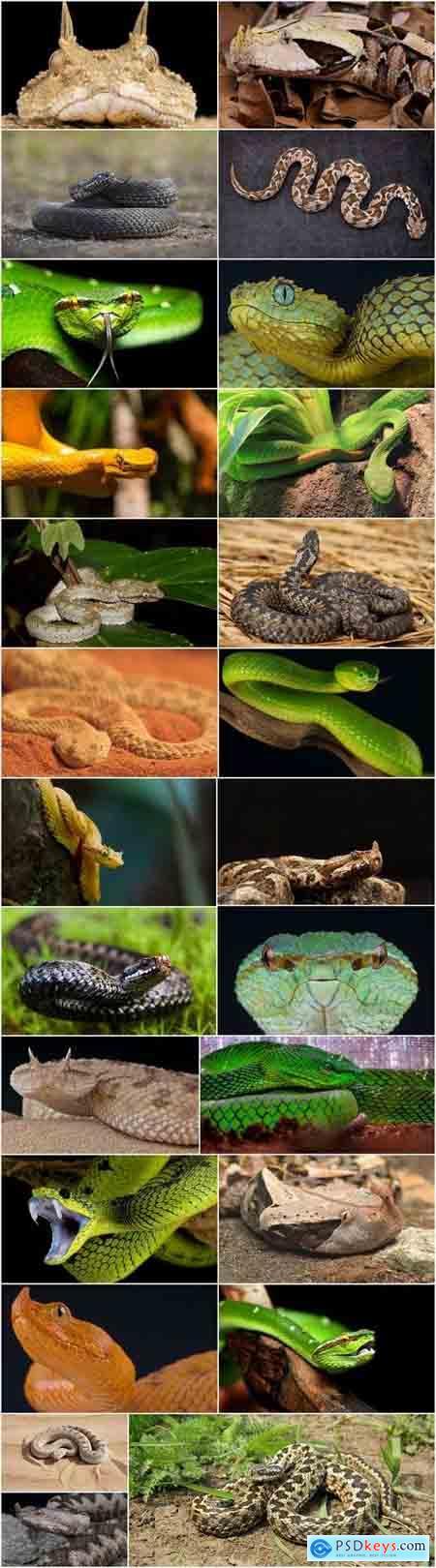 Viper snake reptile 25 HQ Jpeg