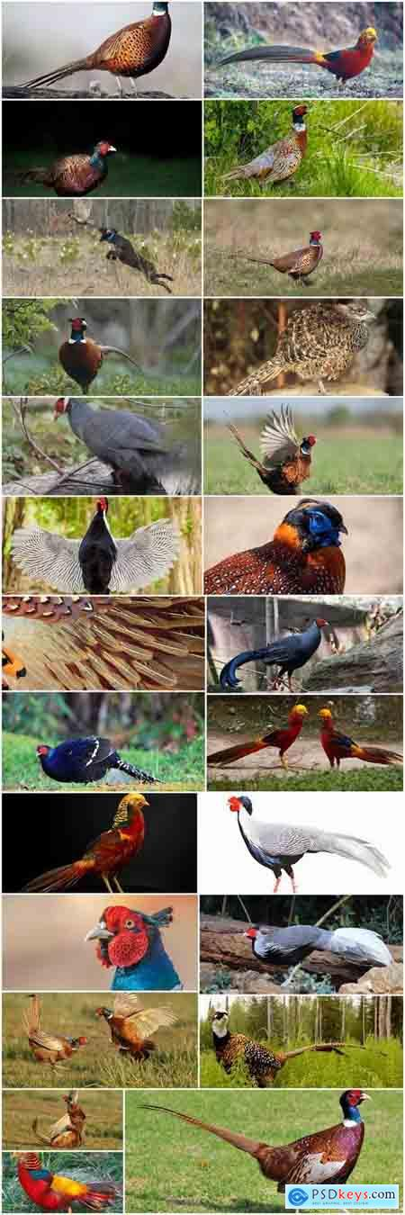Pheasant wildfowl bird 25 HQ Jpeg