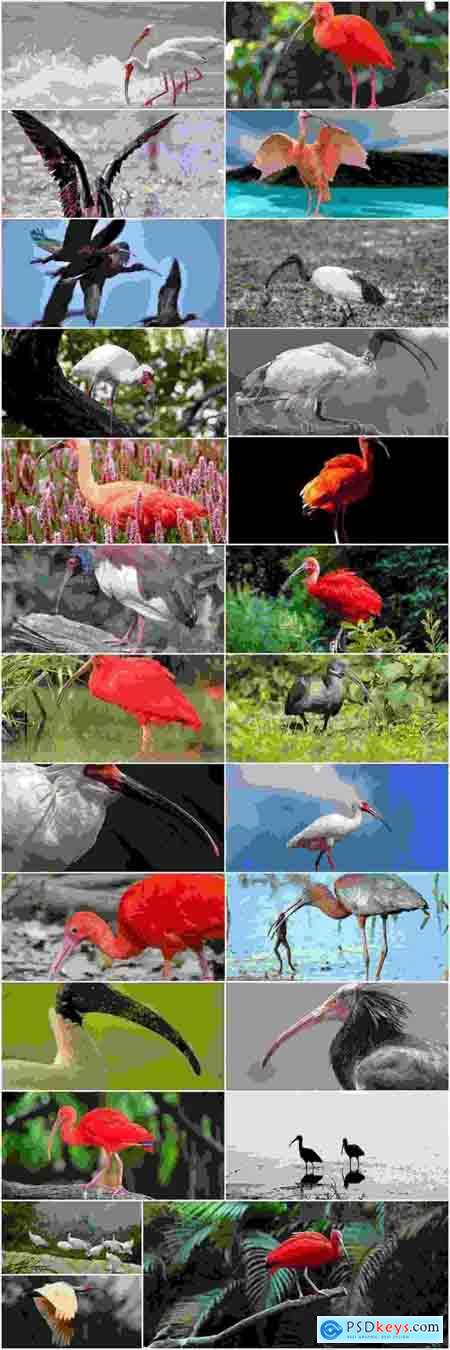 Ibis bird feather pink red nature landscape animal swamp forest pond 25 HQ Jpeg