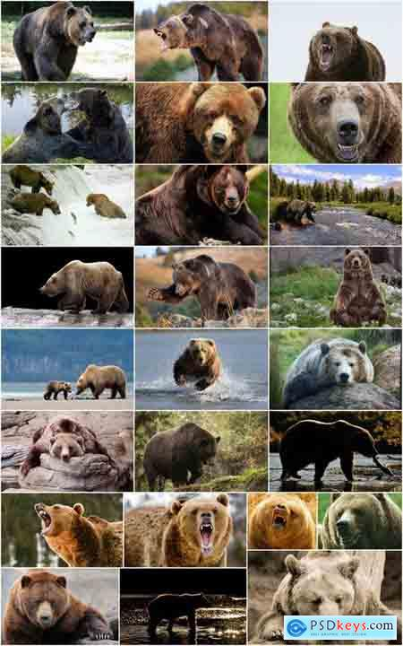 Grizzly Bear predatory animal skin fur hunting in the wild 25 HQ Jpeg