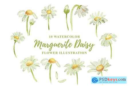 10 Watercolor Marguerite Daisy Flower Illustration
