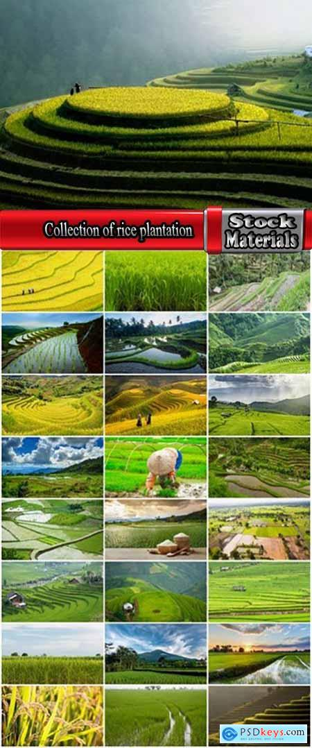 Collection of rice plantation sprout green stem 25 HQ Jpeg