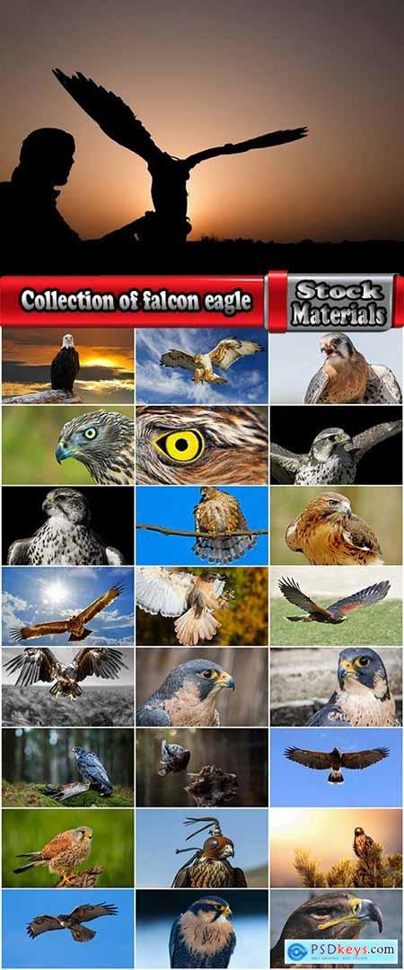 Collection of falcon eagle bird of prey hunting prey feather wing 25 HQ Jpeg