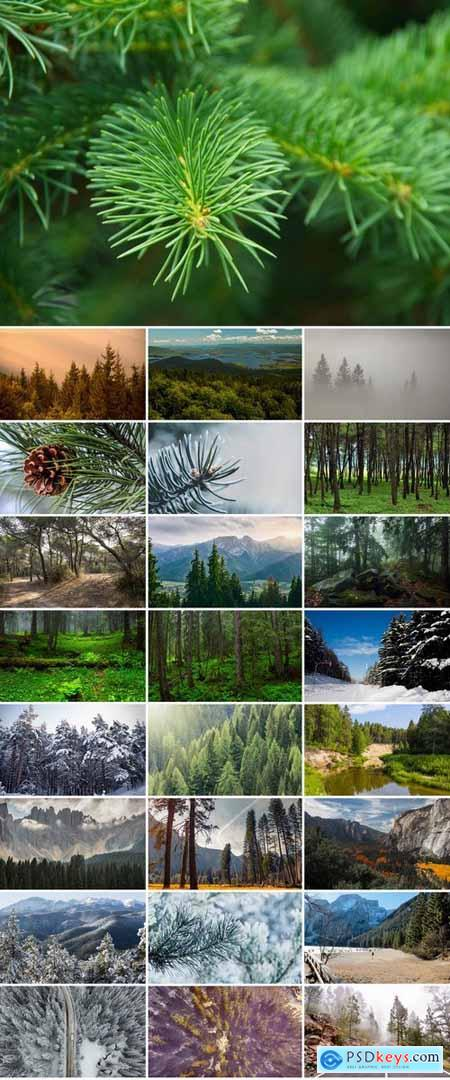 Collection coniferous forest conifers spruce pine needle pine cone 25 HQ Jpeg
